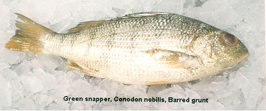 Green Snapper Image